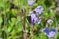 Dark Buckeye on Blue Mistflower, Texas, Kleberg County, Padre Island National Seashore (EC Leatherberry) Tags: butterfly wildlife padreislandnationalseashore conocliniumcoelestinum bluemistflower klebergcounty darkbuckeye