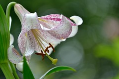 Lillium 'Lankon' (myu-myu) Tags: plant japan nikon lily mygarden lilium  d800  lankon
