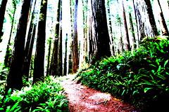 072_Jedediah Smith Redwoods_Boy Scout Tree Trail_Posterized Redwoods_060416 (steveAK) Tags: redwoods posterized posterization jedediahsmithredwoods boyscouttreetrail