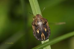Žitna stenica (natalija2006) Tags: nature bug corn slovenia pest sunn heteroptera scutelleridae narava testudinaria pentatomomorpha eurygaster stenica žitna stenice želvaste