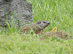 Young Ground Hog 2 (Photo Squirrel) Tags: grass rock mammal woodchuck groundhog brunswickmd whistlepig marmotamonax