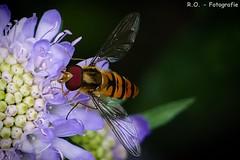 Schwebfliege / Hoverfly (R.O. - Fotografie) Tags: flower macro nature up closeup insect lumix close bokeh outdoor natur panasonic blume makro insekt fz 1000 dmc hoverfly schwebfliege willebadessen fz1000 dmcfz1000