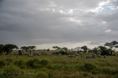 Zebras (Nigel Nudds Photography) Tags: elephant rain tanzania shower monkey rainbow buffalo lion butterflies pelican leopard zebra crocodile antelope cheetah giraffe baboon serengeti hyrax vervet hippos dikdik agama topis