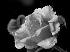 What color ? (KerKaya) Tags: leica light bw white black flower macro nature rose garden lumix drops bokeh drop nb panasonic kerkaya
