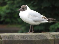 Black-headed gull. (Seckington Images) Tags: flickr gull