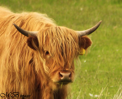 Watching You ! (maureen bracewell) Tags: mountains sunshine animal scotland cow spring highlands highlandcow highlandsofscotland maureenbracewell