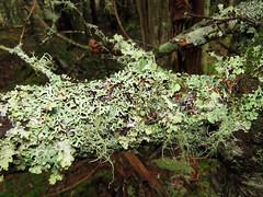 Lichen (White Mountain NF) (stinkenroboter) Tags: whitemountainnationalforest capsridgetrail mountjefferson newhampshire lichen tree