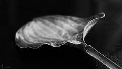 the lost leaf (light-square) Tags: blackandwhite nature monochrome creative impression schwarzweis thelostleaf dasverloreneblatt