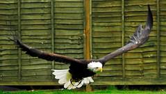 Bald Eagle (MartinHots) Tags: eagle flying soaring animal predator bird graceful attacking hunting stunning
