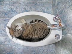 IMG_0379 Sgt.Pepper's SPA (pinktigger) Tags: sgtpepper cat pet feline cute bathroom bidet