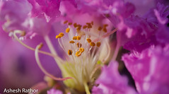 Crepe myrtle (asheshr) Tags: lagerstroemia beautifulflower beautifulmacro crapemyrtle crepemyrtle flower flowercloseup flowermacro macro pink pinkflowers pinkpetals dof depthoffield tones pinktones softtones