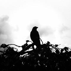 (Rov79) Tags: bird silhouette st jamess park london parks profilo nero dark black contrast blackwhite crow corvo gothic