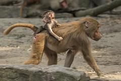 Mantelbaviaan - Emmen (Jan de Neijs Photography) Tags: baviaan mantelbaviaan baboon hamadryasbaboon terminal emmen dierenparkemmen tamron tamron150600 zoo