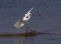 10! (AllHarts) Tags: snowyegret gulfofmexico mississippigulf us90 longbeachms naturescarousel ngc