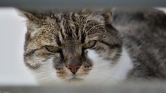 Hello there ! (Mystycat =^..^=) Tags: minetthecat minet cat gato gatto chat katze kitty animal flin feline