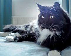 On the bed (Percy the big cat with big whiskers) (Olympus OMD EM5II & mZuiko 17mm f1.8 Prime) (1 of 1) (markdbaynham) Tags: percy cat feline pet cute olympus omd oly em5 em5ii csc mirrorless evil mft microfourthirds m43 m43rd micro43 zd mz zuiko mzuiko zuikolic 17mm f18 prime