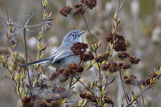 California Gnatcatcher (Polioptila californica)
