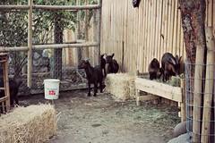 cabras jf 2