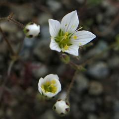 Minuartia douglasii DOUGLAS' SANDWORT (openspacer) Tags: sandwort caryophyllaceae jrbp jasperridgebiologicalpreserve