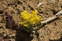 "Desert Flower • <a style=""font-size:0.8em;"" href=""http://www.flickr.com/photos/63501323@N07/16411973754/"" target=""_blank"">View on Flickr</a>"