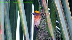Babui (Sudhabindu Ray) Tags: bird weaver baya pakhi babui   seeninindia sudhabinduray