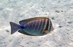 Sailfin Tang (Chalto!) Tags: africa fish swimming swim underwater snorkel redsea egypt snorkeling snorkelling reef tang coralreef surgeonfish sailfintang