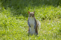 Hello! (JohannesKruse) Tags: hello green animal squirrel greeting