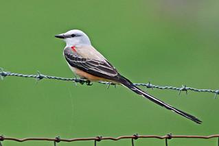 Scissor-tailed Flycatcher,  Peachland, Anson County, North Carolina,  04-20-2015