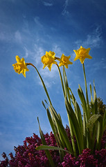 Daffs (jamiegaquinn) Tags: blue sky spring heather bluesky daffodil daffodils daffs