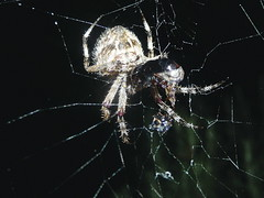 "Samuel Elsegood 0456241728. I took this photograph on the third of March 2015. It is of a garden orb weaving spider eating a Milde beetle • <a style=""font-size:0.8em;"" href=""https://www.flickr.com/photos/48334191@N00/16661657158/"" target=""_blank"">View on Flickr</a>"
