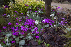 Winter flowering cyclamen coum  and snowdrops (February 19th) (Four Seasons Garden) Tags: uk flowers winter england west english garden four seasons snowdrops february cyclamen walsall midlands ngs fourseasonsgarden