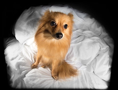 Boo the Pomeranian. . . (CWhatPhotos) Tags: playful pet cwhatphotos canon eos camera photographs photograph pics pictures pic picture image images foto fotos photography artistic that have which contain portrat portraited pup puppy dog canine pomeranian pomeranium pom love affection colourfull sandy light brown cute adorable portrait animal 2015 zwergspitz dwarfspitz dwarf spitz pompom 5d iii multi flash setup opteka 65mm fisheye fish eye view cropped crop
