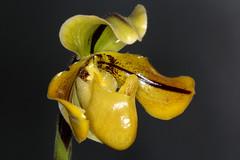 Paphiopedilum druryi (Pterodactylus69) Tags: orchid flower fleur flor orchidaceae orquidea botany orchidee botanicgarden botanica botanik botanischergarten herrenhusergrten herrenhausen berggarten herrenhausengardens cypripedioideae