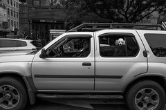 uneasy rider (clairebrinberg) Tags: car lowereastside poodle