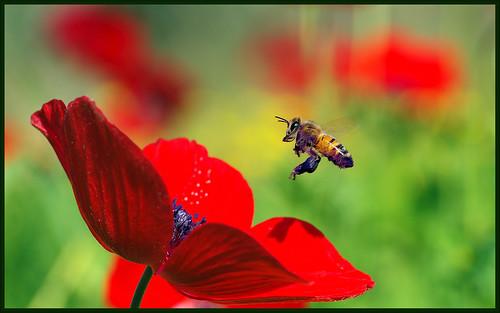 Hard working Honey Bee.