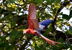 Scarlet Macaw (Ara macao) in Corcovado National Park, South-east Costa Rica. (One more shot Rog) Tags: bird nature birds wings costarica wildlife flight wing parrot corcovado macaw macaws beaks birdlife corcovadonationalpark scarletmacaws costaricanbirds