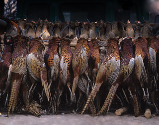 Hungary Luxury Driven Pheasant Shoot 11