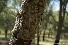 Cork oak tree-trunk (i-lenticularis) Tags: australia canberra manuallens corkforest a7r altlens summiluxr50 sonya7r summiluxr50v1
