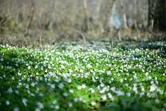les petites fleurs blanches (pontfire) Tags: lemesniljourdain hameaudecaillouet hautenormandie eure27 départementdeleure flore fleur flower blossom pontfire explore explorer