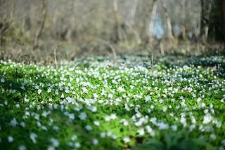 les petites fleurs blanches