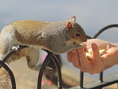 Grey Squirrel (Sciurus carolinensis) (Jeff G Photography - jeffgphoto@outlook.com) Tags: squirrel peanuts stjamesspark greysquirrel sciuruscarolinensis