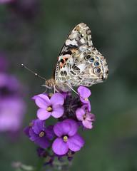 Painted Lady (JamesMarks) Tags: nature butterfly wildlife buckinghamshire paintedlady cynthiacardui wingsclosed