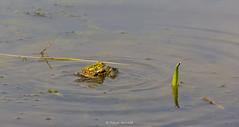 2016-05-06 - 15.51.17 - _L5B2534 - 2 (Rossell' Art) Tags: pad frog toad sapo rana frosch grenouille kikker rano bufo r krte crapaud  rospo doodebemde batracien