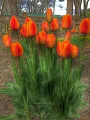 Tiptoe .... (richpoj50) Tags: park flowers orange spring tulips iphone hss sliderssunday snapseed hdrscape