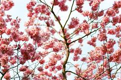 Cherry Blossom - Ektar 100 (magnus.joensson) Tags: zeiss 50mm skne spring blossom kodak sweden swedish contax bloom handheld 100 rx planar ektar c41