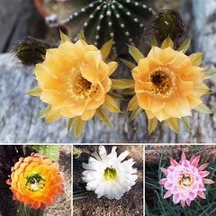 We hope your weekend is as lovely as these blooms! (DeGrazia Gallery in the Sun) Tags: flowers arizona cactus ted flores architecture artist gallery desert artgallery tucson blossoms az adobe blooms degrazia catalinas ettore nationalhistoricdistrict galleryinthesun