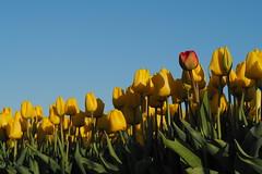 Gele tulpen tegen een blauwe lucht (Gerrit Veldman) Tags: bollenveld flevoland noordoostpolder tulpen tulips yellow geel rood red tulpenveld