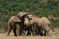 Suedafrika-55 (Lukas P Schmidt) Tags: elephant addo nationalpark elephantpark