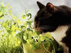 Wasabi maistuu! (Johanna Toivonen) Tags: pet plant green cat blackcat fresh smirk wasabi wasabiplant