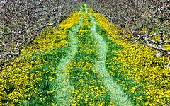 20160510_pec_0029 (Dbell2006) Tags: ca ontario canada grass spring dandelions appleorchard springflower princeedwardcounty princeedward waupoos